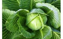 Технология выращивания капусты белокочанной