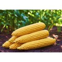Кукуруза сахарная ГСС 3071 F1