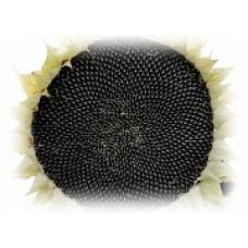 Семена подсолнечника ЕС Амис СЛ