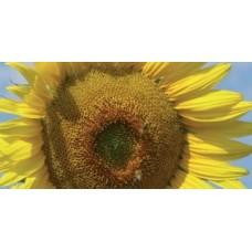 Семена подсолнечника LG 5633 CL