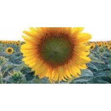 Семена подсолнечника LG 5662