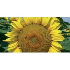 Семена подсолнечника LG 5663 CL