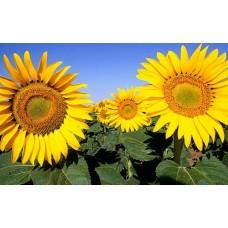 Семена подсолнечника Лимит (Премиум)