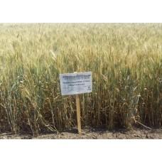 Семена озимой пшеницы - Лира Одесская (Элита)