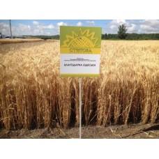 Семена озимой пшеницы - Благодарка Одесская (Элита)