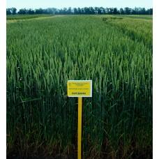Семена озимой пшеницы - Богдана (Элита)