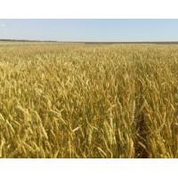 Семена озимой пшеницы - Бунчук (Элита)