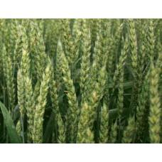 Семена озимой пшеницы - Дагмар (1 репродукция)