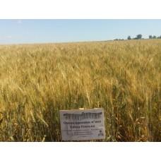 Семена озимой пшеницы - Эпоха одесская (Элита)