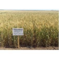 Семена озимой пшеницы - Гурт (Элита)