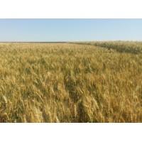 Семена озимой пшеницы - Литановка (Элита)