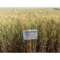 Семена озимой пшеницы - Мудрость Одесская (Элита)