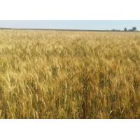 Семена озимой пшеницы - Наснага (Элита)