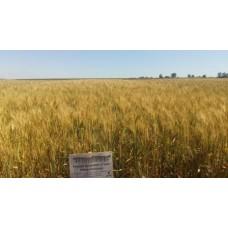 Семена озимой пшеницы - Нива Одесская (Элита)