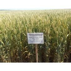 Семена озимой пшеницы - Подолянка (1 репродукция)