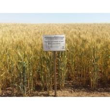 Семена озимой пшеницы - Шестопаловка (Элита)
