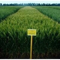 Семена озимой пшеницы - Смуглянка (1 репродукция)