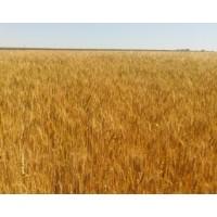 Семена озимой пшеницы - Солоха (Элита)