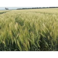 Семена озимой пшеницы - Вдала (Элита)