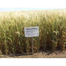 Семена озимой пшеницы - Зыск (Элита)