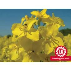 Семена озимого рапса Альбатрос (ALBATROS)