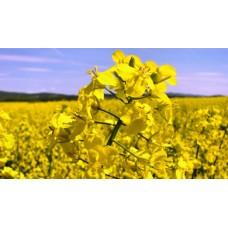 Семена озимого рапса ЕС Дарко